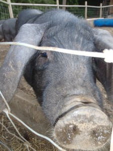 Large Black Pigs: Why Heritage Breeds Matter