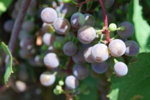 Le vin naturel est en vogue au Québec
