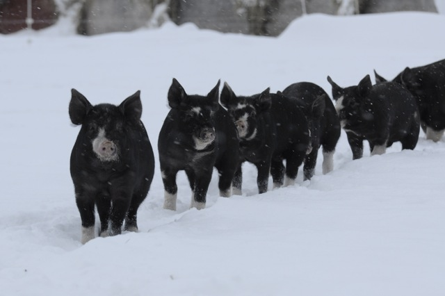 lard:pigs