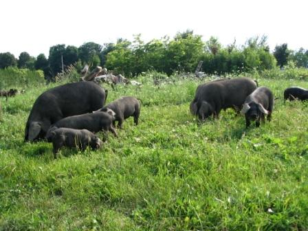 grazing pigs - compressed