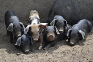 From the Farm: Large Black Pigs / De la ferme : des cochons noirs