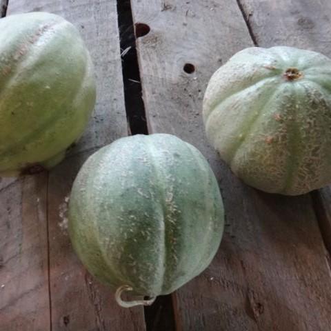 Melon Montreal 2013 - Tournesol