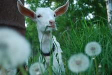"""""""We should get a goat…"""""""